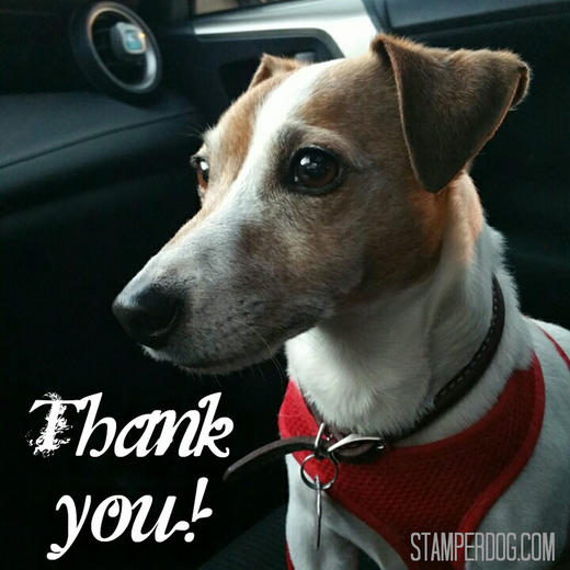Jack Russell Terrier Thank You Card